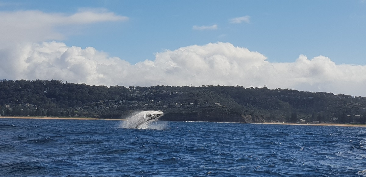 Whale breaching ocean water during bright and warm day